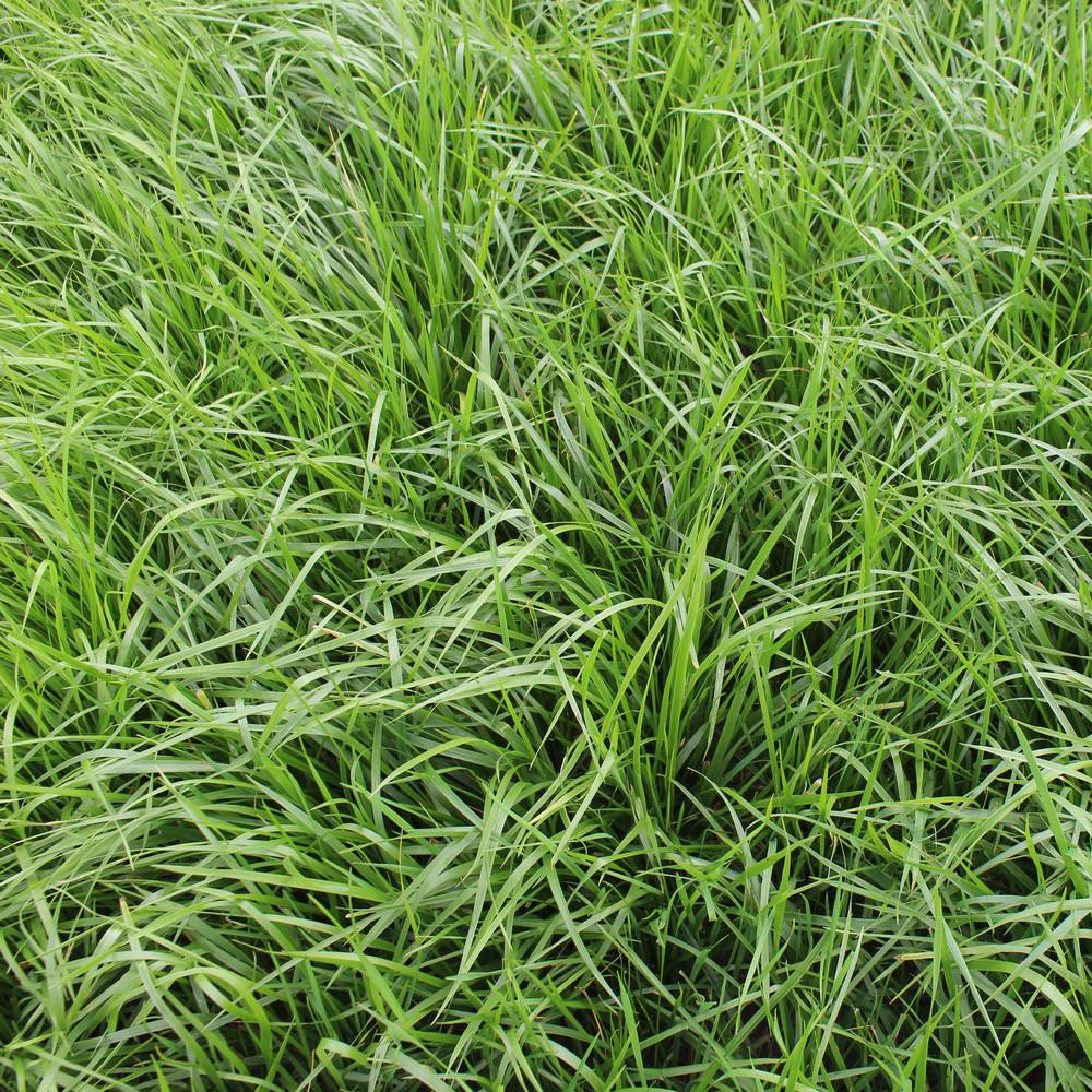 25 kg REGENERATE Einzelgras Grassamen Weide Festuca arundinacea Rohrschwingel