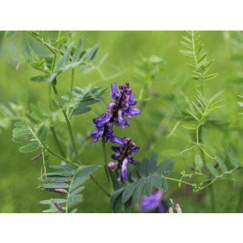 Winterwicken (Vicia villosa)